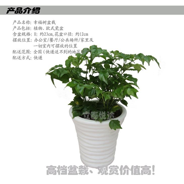幸福树盆栽l1211【图片 价格 品牌 报价】-库巴购物网