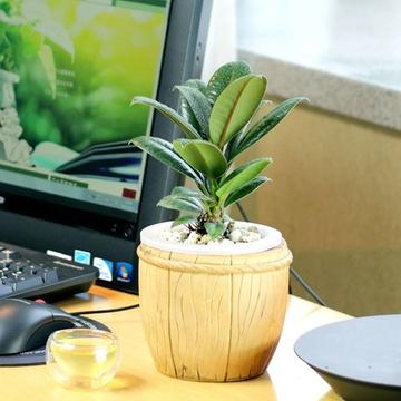 黑金刚水培盆栽 橡皮树